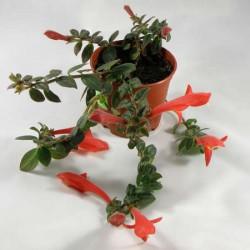 За цветята – Колумнея