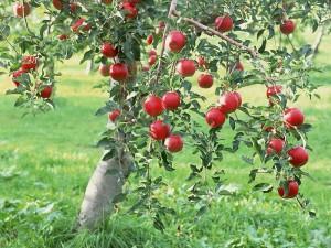 apple-tree-image