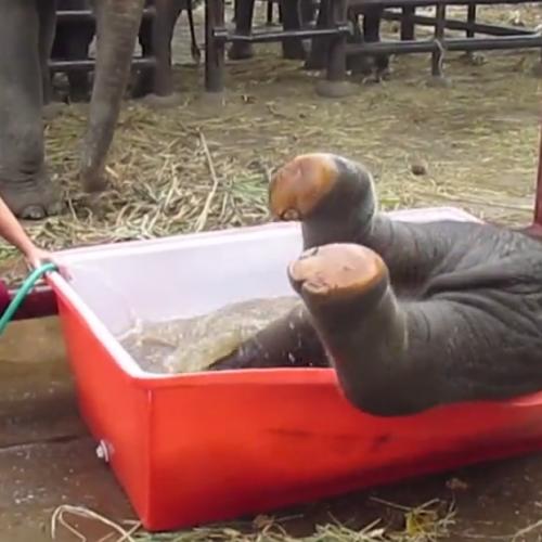Първата баня на малко слонче ще е най-сладкото нещо, което ще видите днес