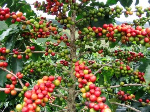 coffea2-520x390