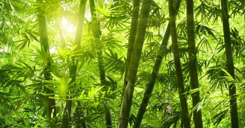Полезни свойства и приложения на бамбука