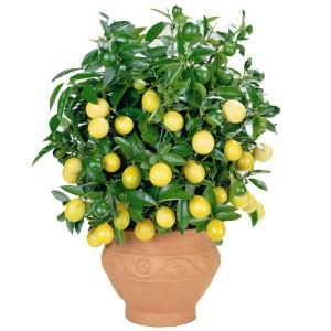lemon-tree1