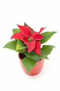 8330644-poinsettia-the-christmas-star-flower-isolated-on-white