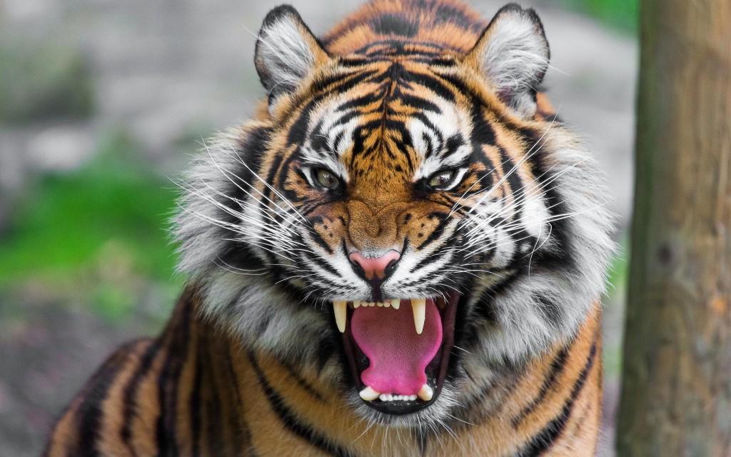 Threatening-Tiger