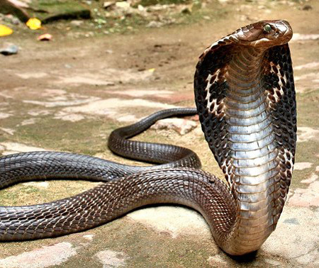 king-cobra-facts-for-kids