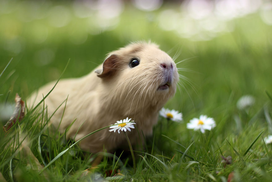 guinea-pig-booboo-lieveheersbeestje-14