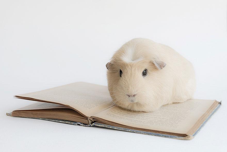 guinea-pig-booboo-lieveheersbeestje-15