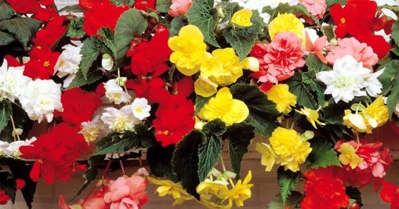Цветята – Бегония (Begonia knollenbegonien)