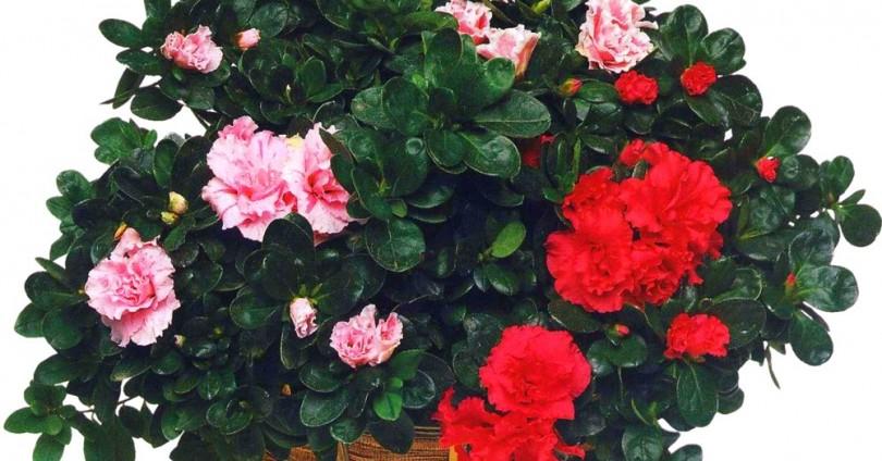 Азалия, Азалея (Rhododendron)